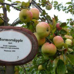Яблоня Морморс эппле (Mormorsapple Финляндия)