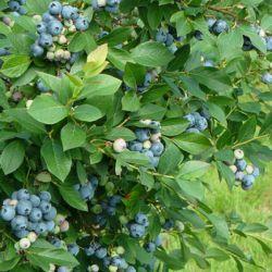 Голубика садовая Арто