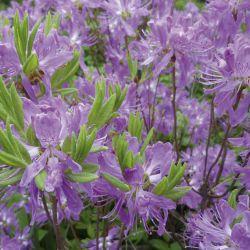 "Rhododendron canadense ""Violetta"""