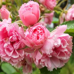Pink Grootendorst (Голландия)