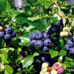 "Голубика садовая ""Алвар"" (Vaccinium corymbosum 'Alvar'® Финляндия)"
