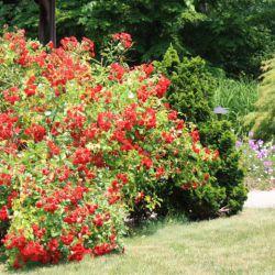 Crimson Meidiland