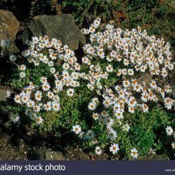 Дендрантема арктическая (Гренландская маргаритка)