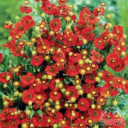 "Гелениум ""Руби Тьюздэй"" (Helenium 'Ruby Tuesday')"