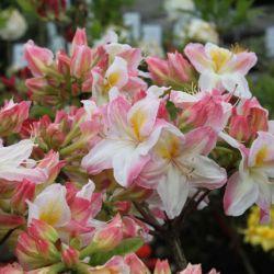 "Rhododendron ""Satomi"""