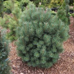 "Pinus sylvestris ""Compressa"""