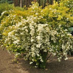 "Спирея вангутта ""Gold Fountain"" (Spiraea vanhouttei 'Gold Fountain')"