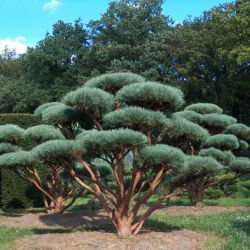 """Pinus sylvestris """"Watereri"""""""