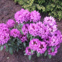 Royal Lilac (новинка!) (Финляндия)