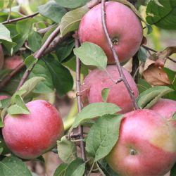 Яблоня Белорусское Сладкое(полу-карликовый подвой)