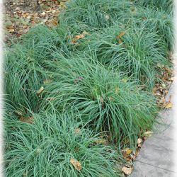 Carex flacca (Carex flacca)