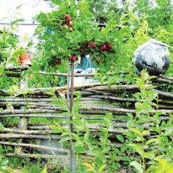 Крыжовник красный на штамбе 80 см. (Ribes uva-crispa 'Lepaan Punainen' Финляндия)