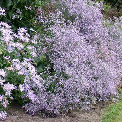 "Кермек ""Виолетта"" (Limonium latifolium 'Violetta')"