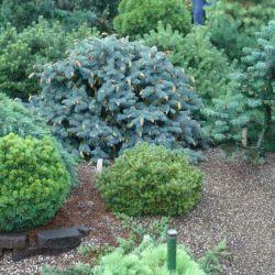 "Picea  pungens ""Herman Naue"""