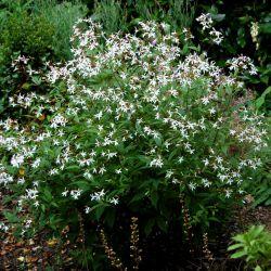 Гилления трехлистная (Gillenia trifoliata)