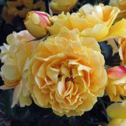 Starlet Rose Lizzy (Tantau)