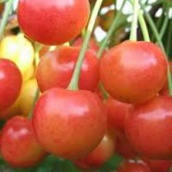 Черешня Брянская Розовая (Латвия)