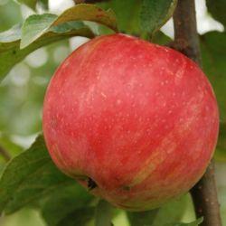 Яблоня Услада (полу-карликовый подвой)