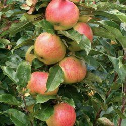 Яблоня колонновидная Валюта (карликовый подвой)