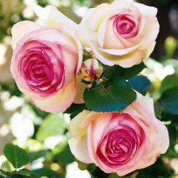 Eden Rose 85 (Tantau)