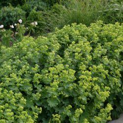 Манжетка сверху-голая (Alchemilla epipsila)