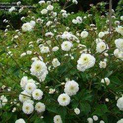 Лютик аконитолистный махровый (Ranunculus aconitifolius 'Flore Pleno')