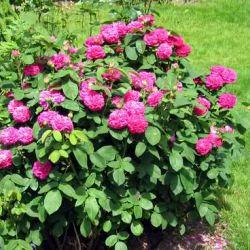 Rose de Resht (Kordes)