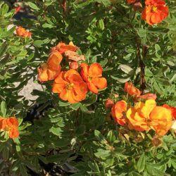 Лапчатка кустарниковая 'Jefmarm'Marmalade