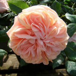 Garden of Roses (Kordes) (Германия)