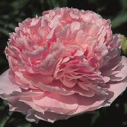 Пинк Парфэ (Pink Parfait)