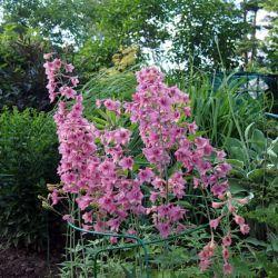 Дельфиниум ruysii 'Pink Sensation' (Delphinium ruysii 'Pink Sensation')