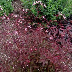 """Гилления """"Пинк Профьюжн"""" (Gillenia trifoliata 'Pink Profusion')"""