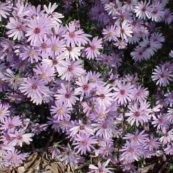 """Астра """"Литл Карлоу"""" (Aster 'Little Carlow')"""