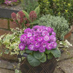 Примула Беларина Кэнди Фрост (Primula Belarina Candy Frost)