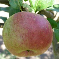 Яблоня Ауксис (карликовый подвой)
