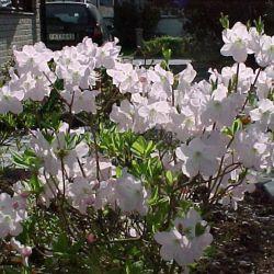 Rhododendron schlippenbachii 'Estelle' ('Estelle' Финляндия)