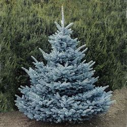 "Ель колючая ""Blue Diamond"" (Picea pungens ""Blue Diamond"")"