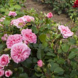 Pink Swany (Голландия)