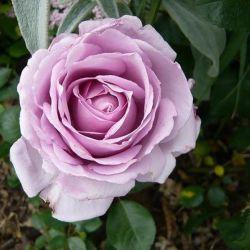 LA ROSE DU PETIT PRINCE (syn.Rose Synactif by Shisheido)