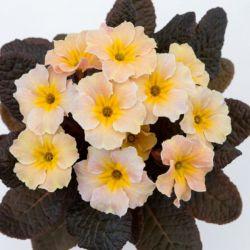 Примула обыкновенная 'Dunbeg' (Primula vulgaris 'Dunbeg')