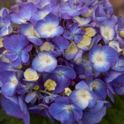 Гортензия крупнолистная 'Bloom Struck'