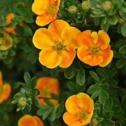 Лапчатка кустарниковая 'Jefman'Mandarin Tango