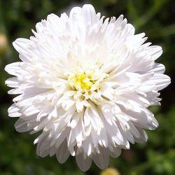 Калимерис перисто рассечённый садовый (Kalimeris pinnatifida 'Hortensis')
