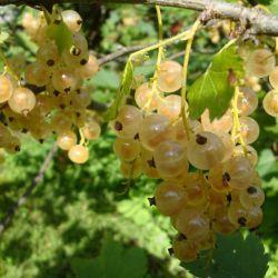 "Смородина белая ""Жемчужина из Пиикио"" (Ribes rubrum ""Piikion Helmi"" Финляндия)"