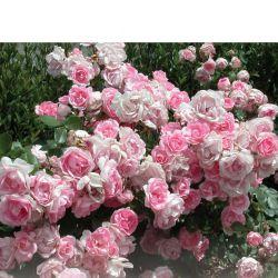 BORDURE ROSE