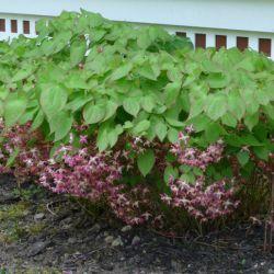 Горянка красноватая (Epimedium x rubrum)