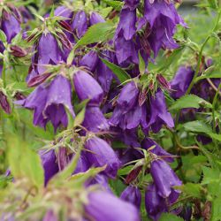 Колокольчик Purple Sensation (Campanula Purple Sensation)