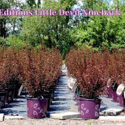 """Пузыреплодник """"Литл Девил"""" (Physocarpus opulifolius 'Little Devil' =Donna May)"""