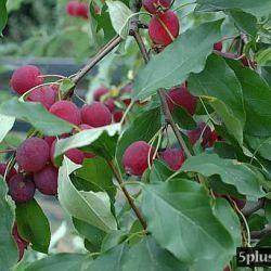Яблоня Долго (полу-карликовый подвой)