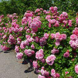 Les Quatre Saisons(syn. Pink Swany) (Голландия)